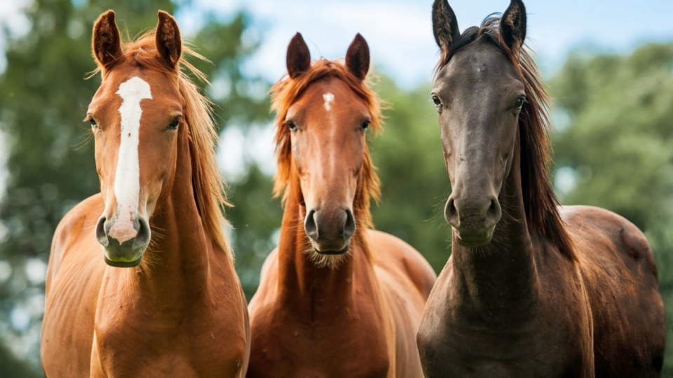Top Five Horse Breeds With Equine Programs