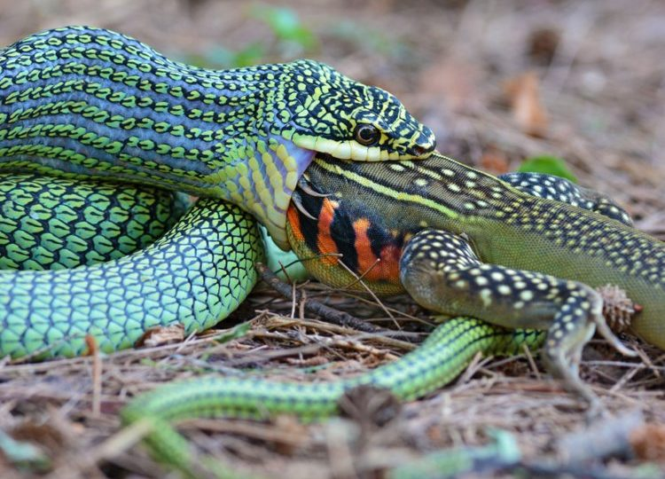 What do snakes eat?