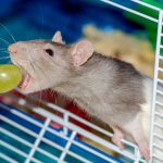 Additional Rats requires a long-lasting drug