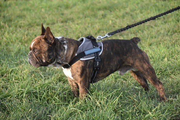 A majority of vets recommend the use of a harness instead of a collar: here's why